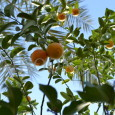 Orange tree in Jericho